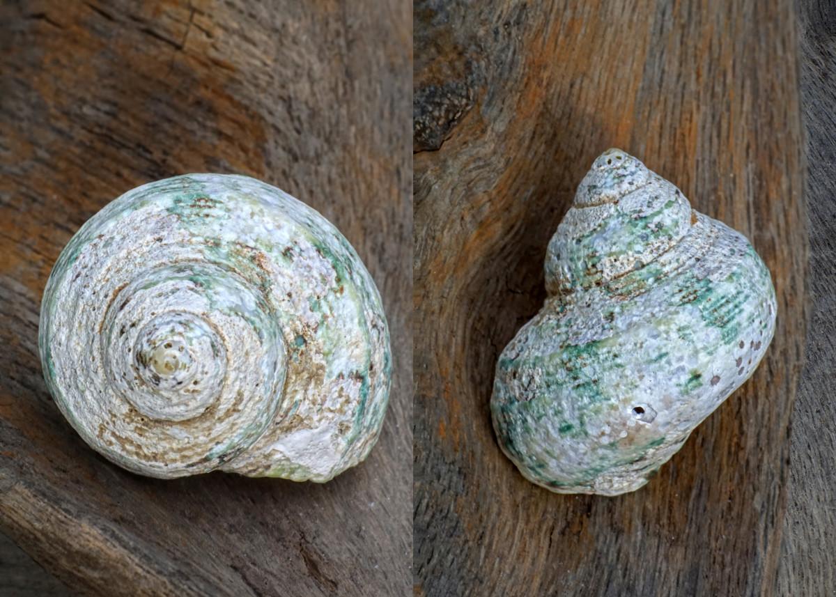 Turbo Seashell - Silver Mouth Turban (Natural)