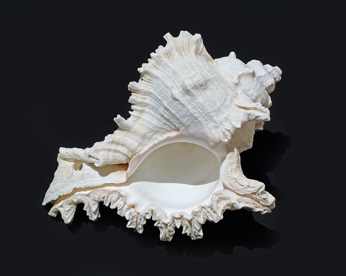 Giant Eastern Murex Shell