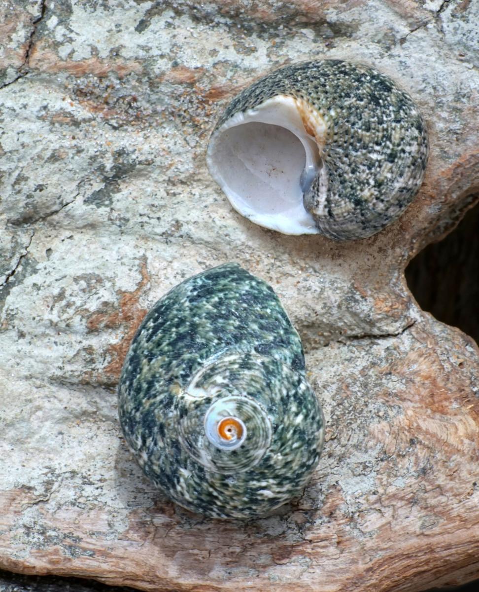 Turbo Seashell - Silver Mouth Turban  (Juvenile)