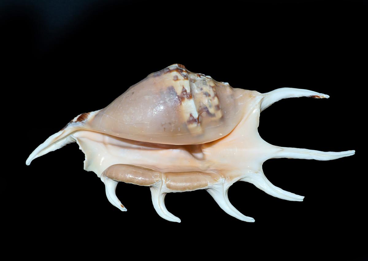 Underside Spider Conch Shell
