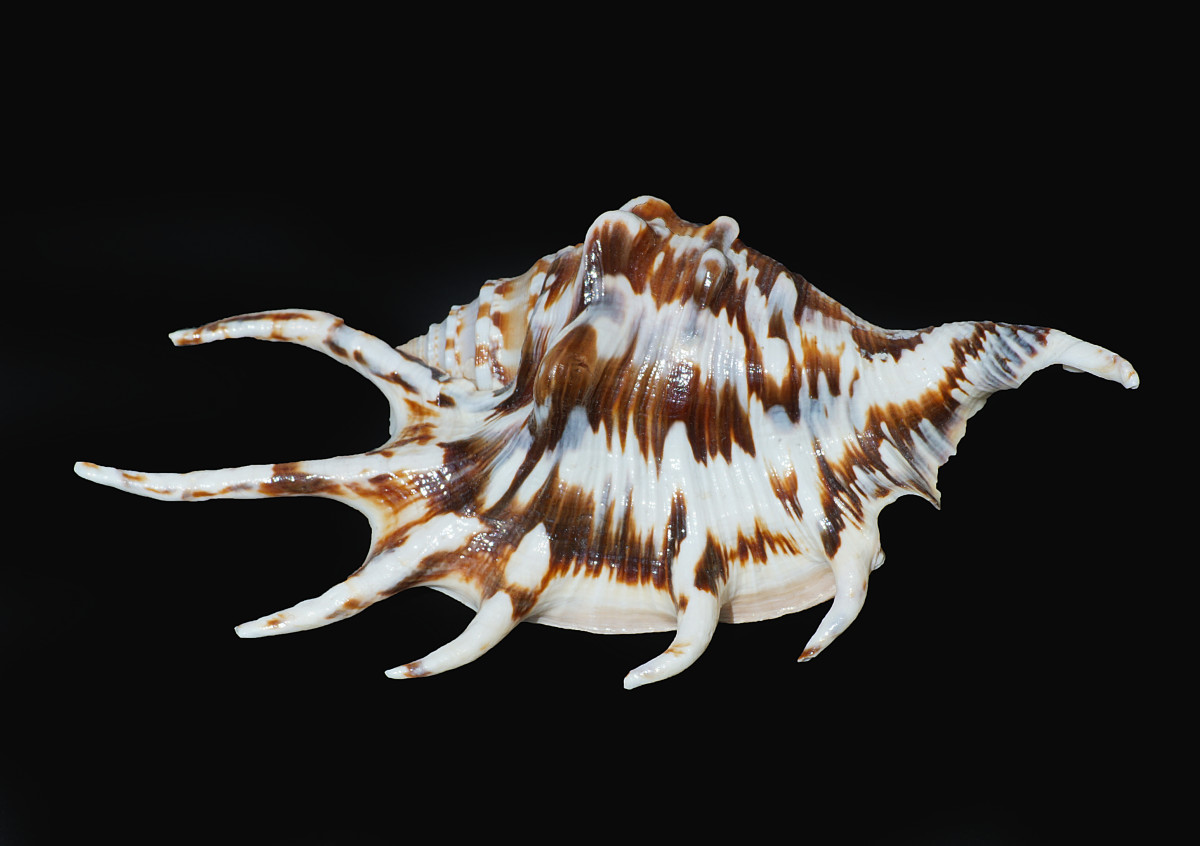 Spider Conch Shell