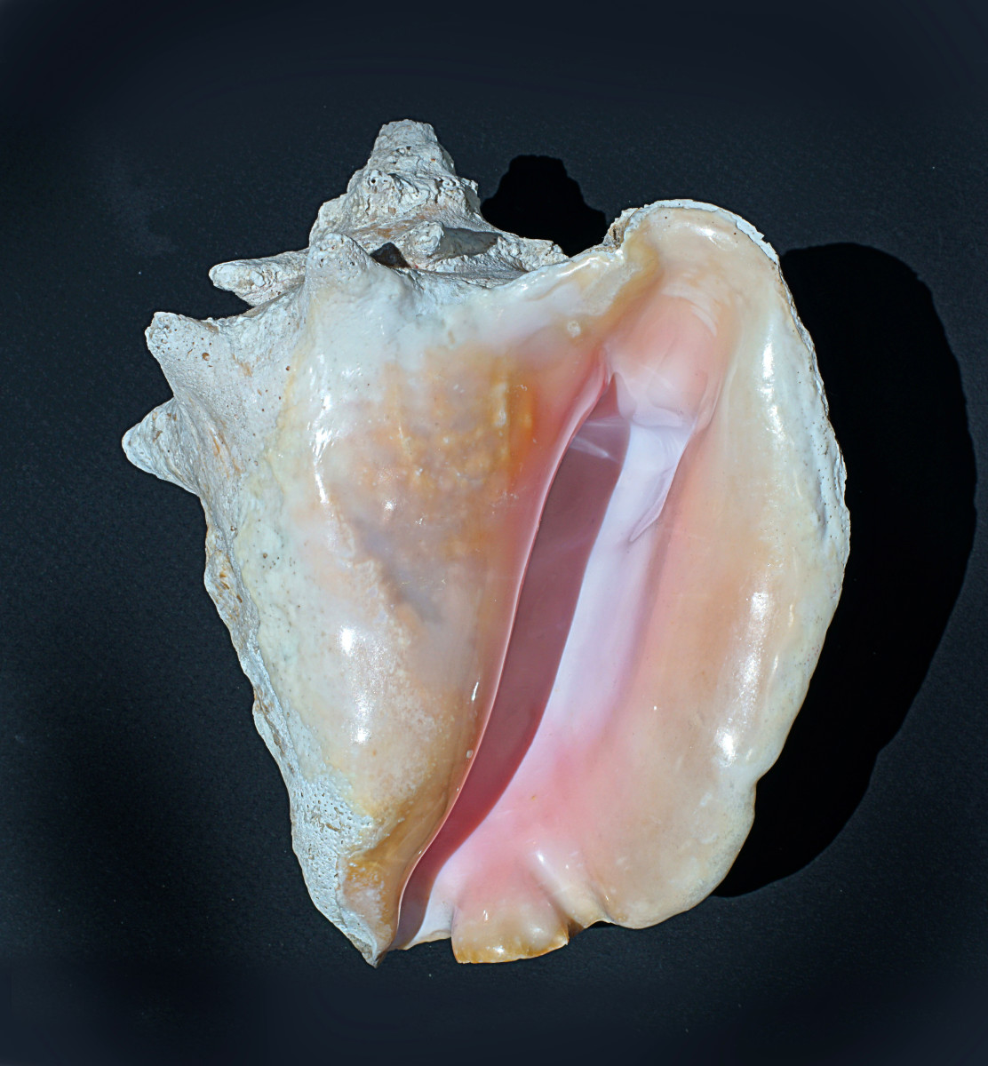 Queen Conch Shell