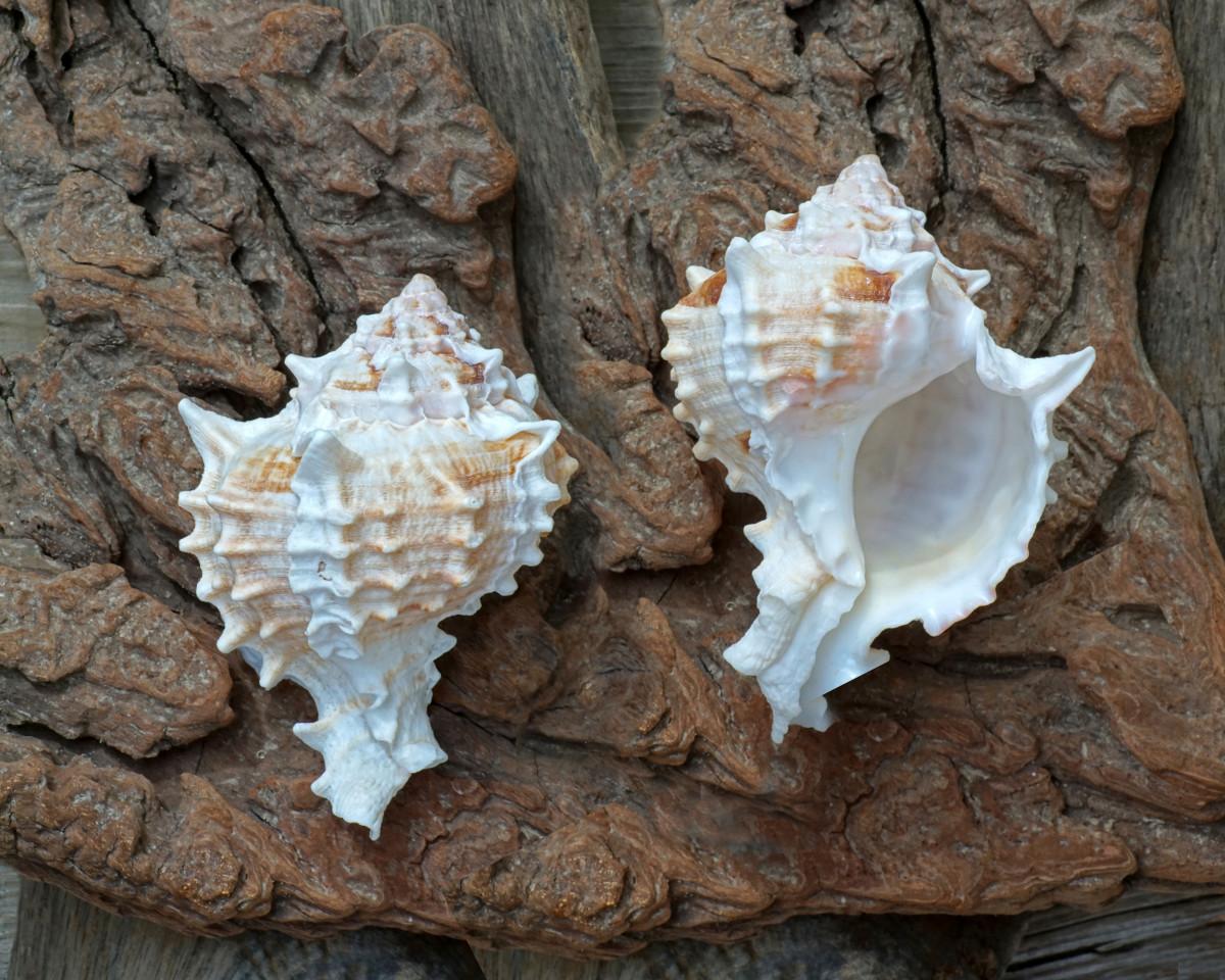 Pink Throat Murex Shell