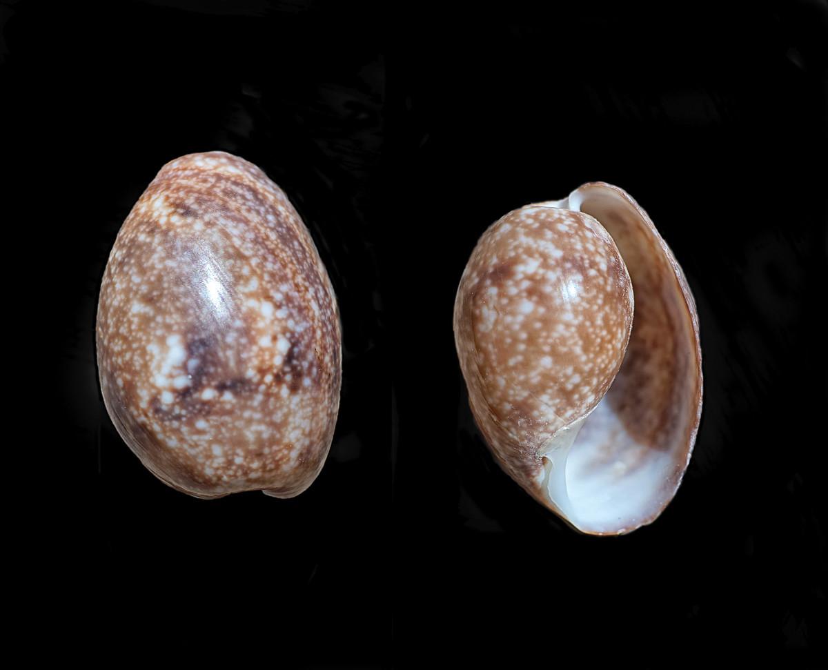 Atlantic (Striate) Bubble Shell
