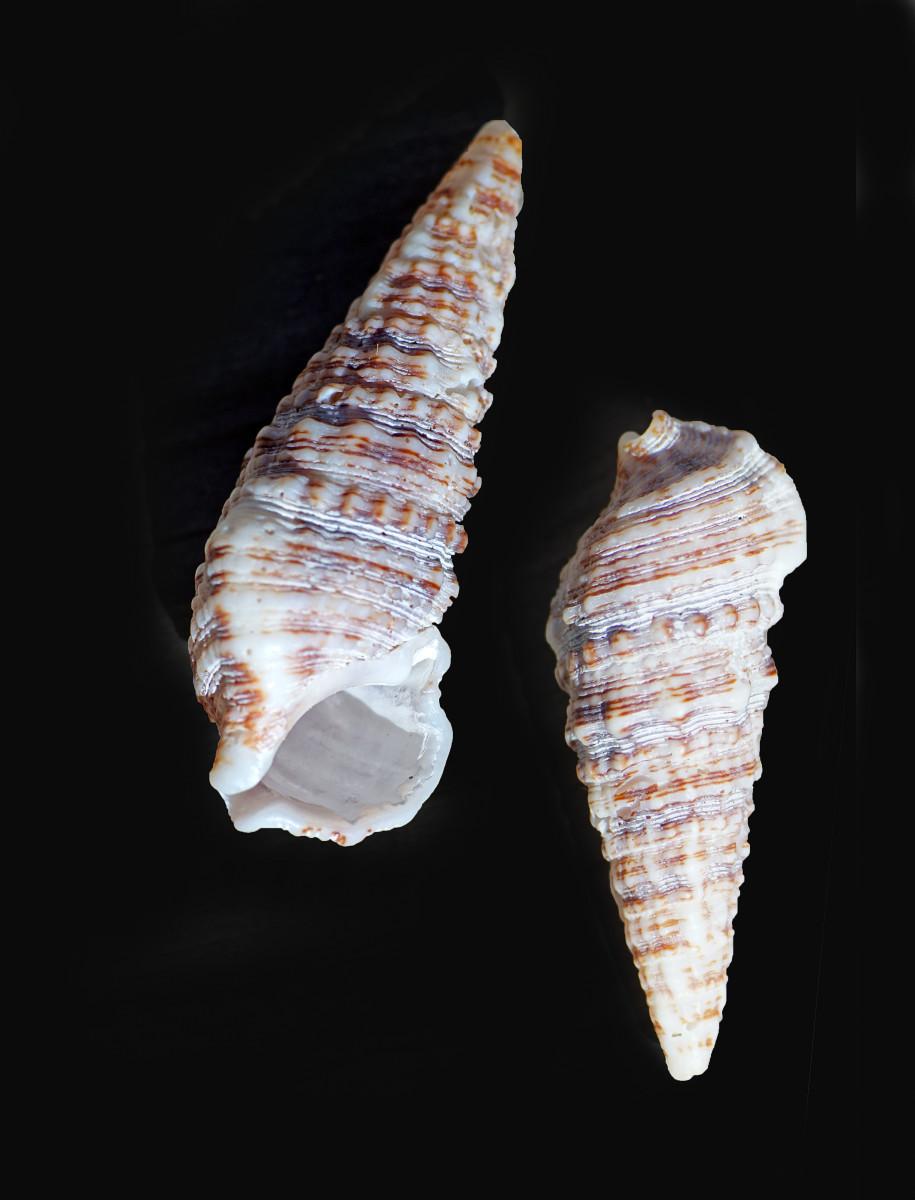 Florida (Dark) Cerith Shell
