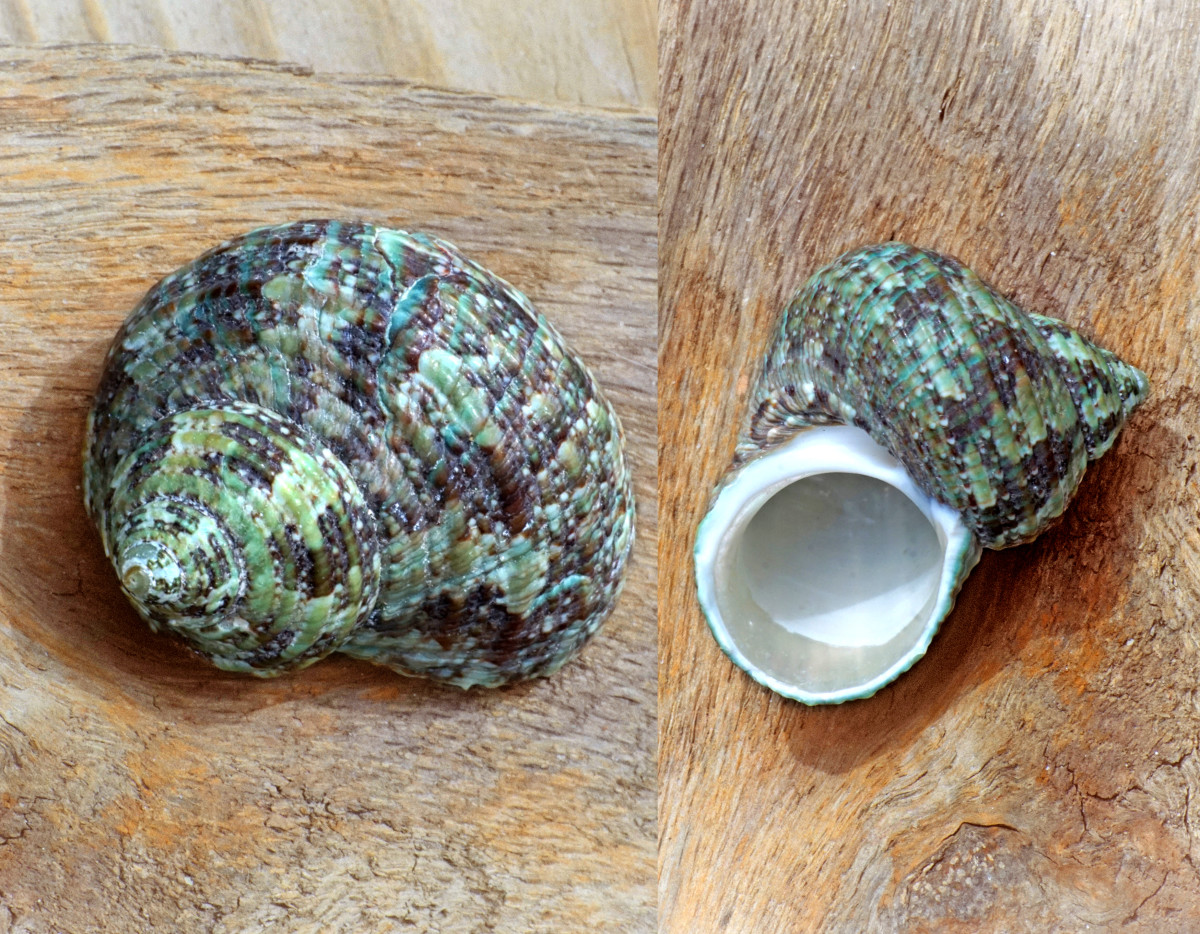 Turbo Seashell - Rough Turban