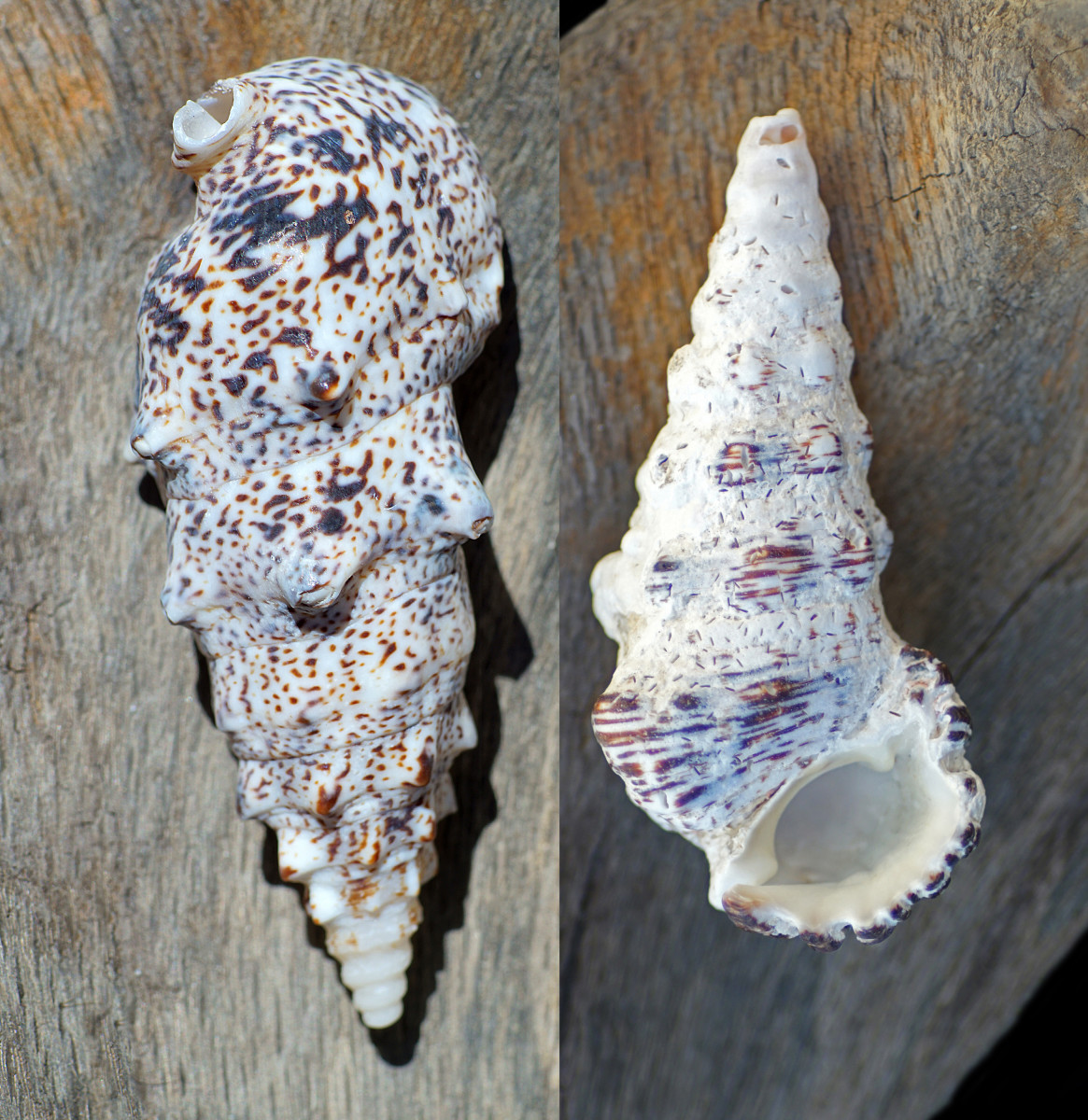 Cuming's Cerith Shell