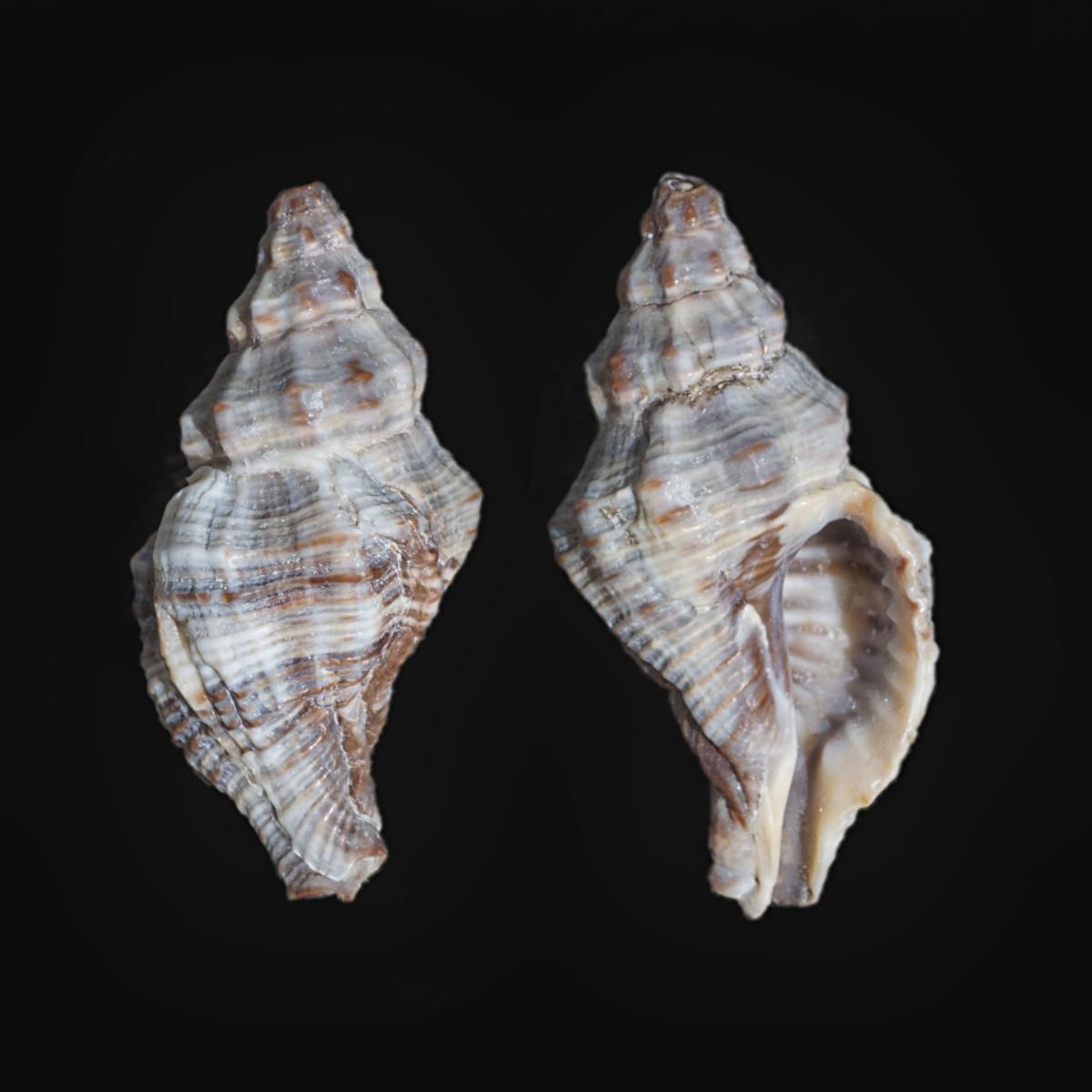 Atlantic Oyster Drill Shell