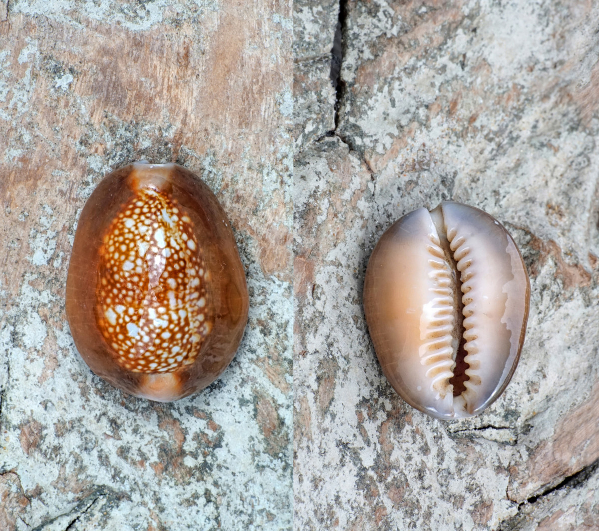 Snake Head Cowrie Shell