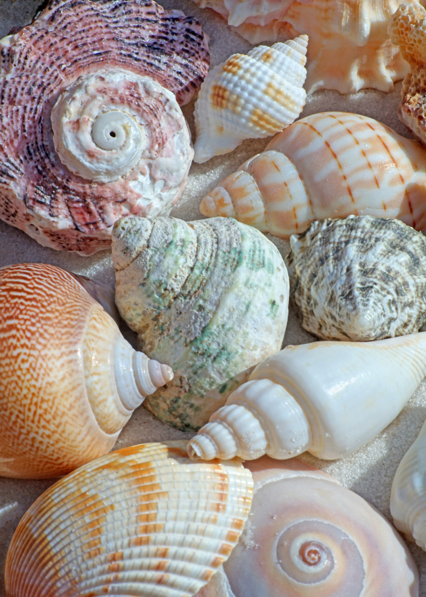 Conchs, Top Shells, Moon Shells, Cone Shells, Whelks and More Univalves