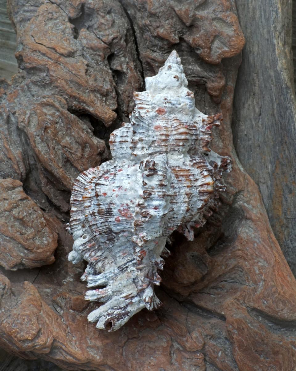 Lace Murex Shell