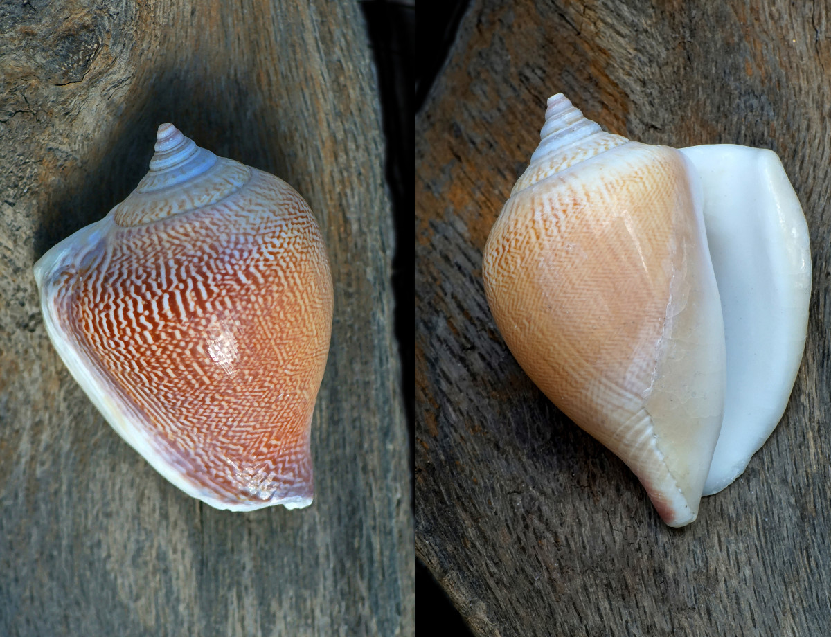 Dog Conch Shell