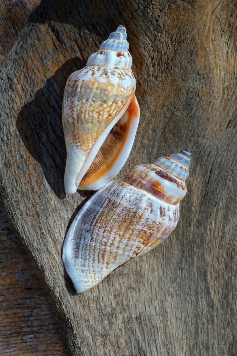 Florida Rock Shell