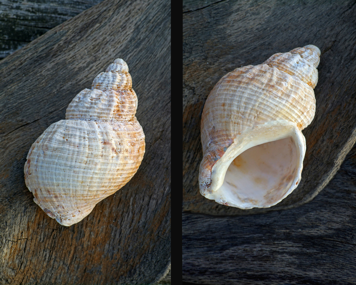 Common Northern Whelk Shell