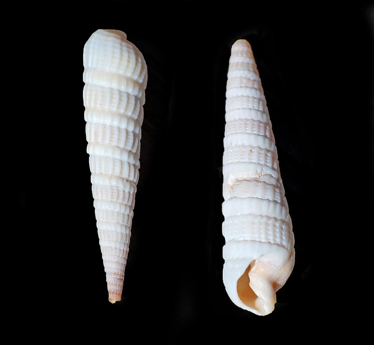 Common (Atlantic) Auger Shell