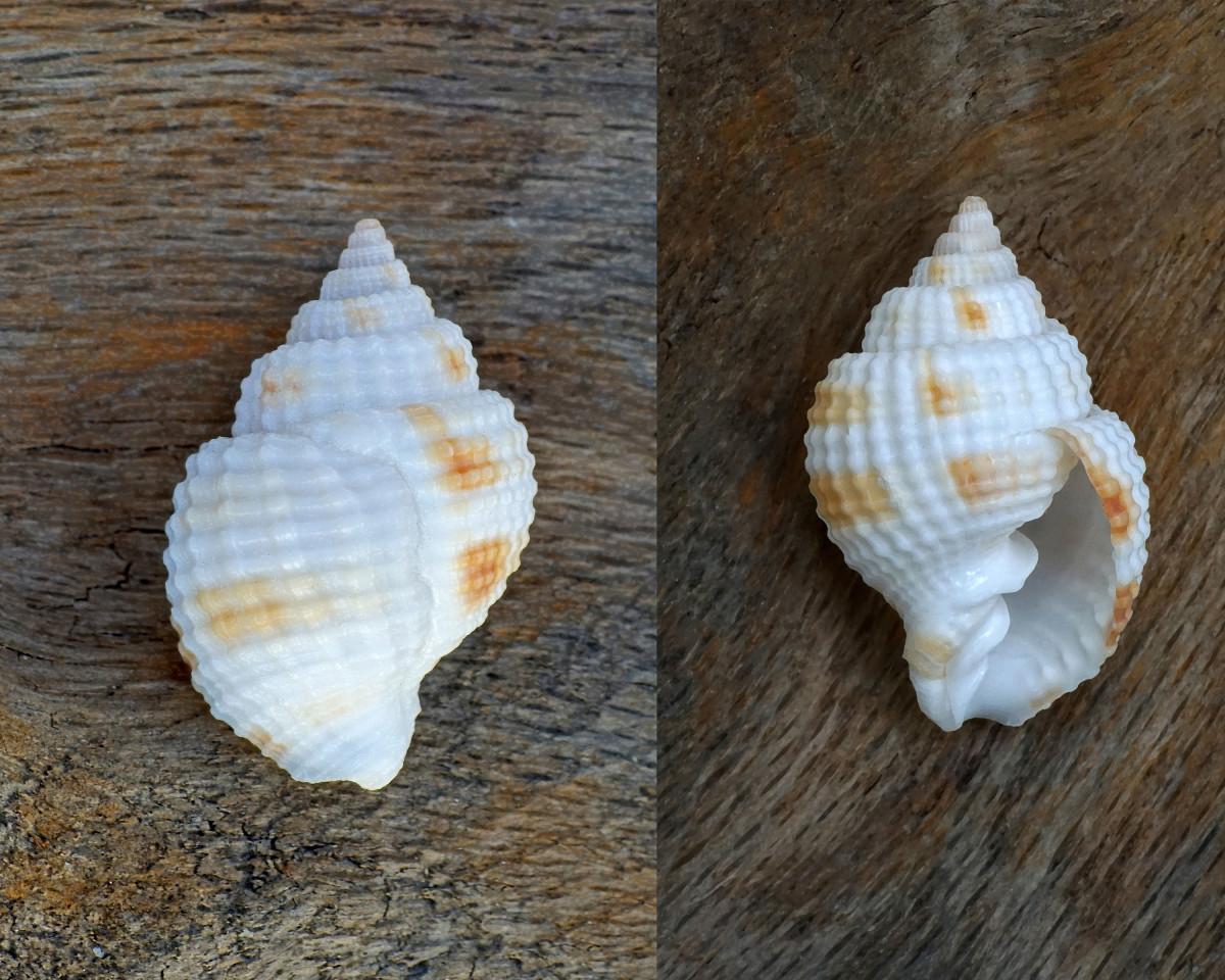 Nutmeg Shell