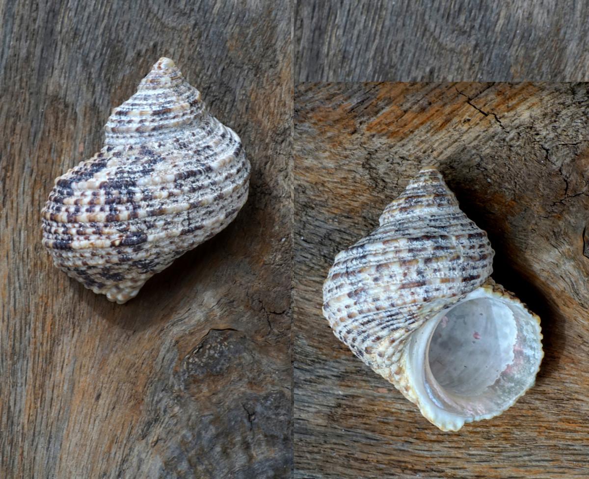 Turbo Seashell - Wavy Turban