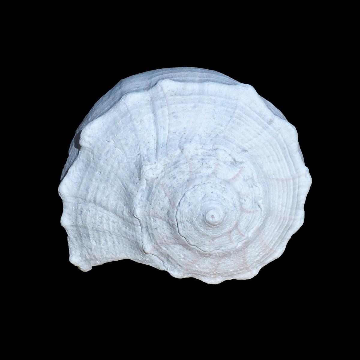 (Spiraled Top) Lightening Whelk Shell