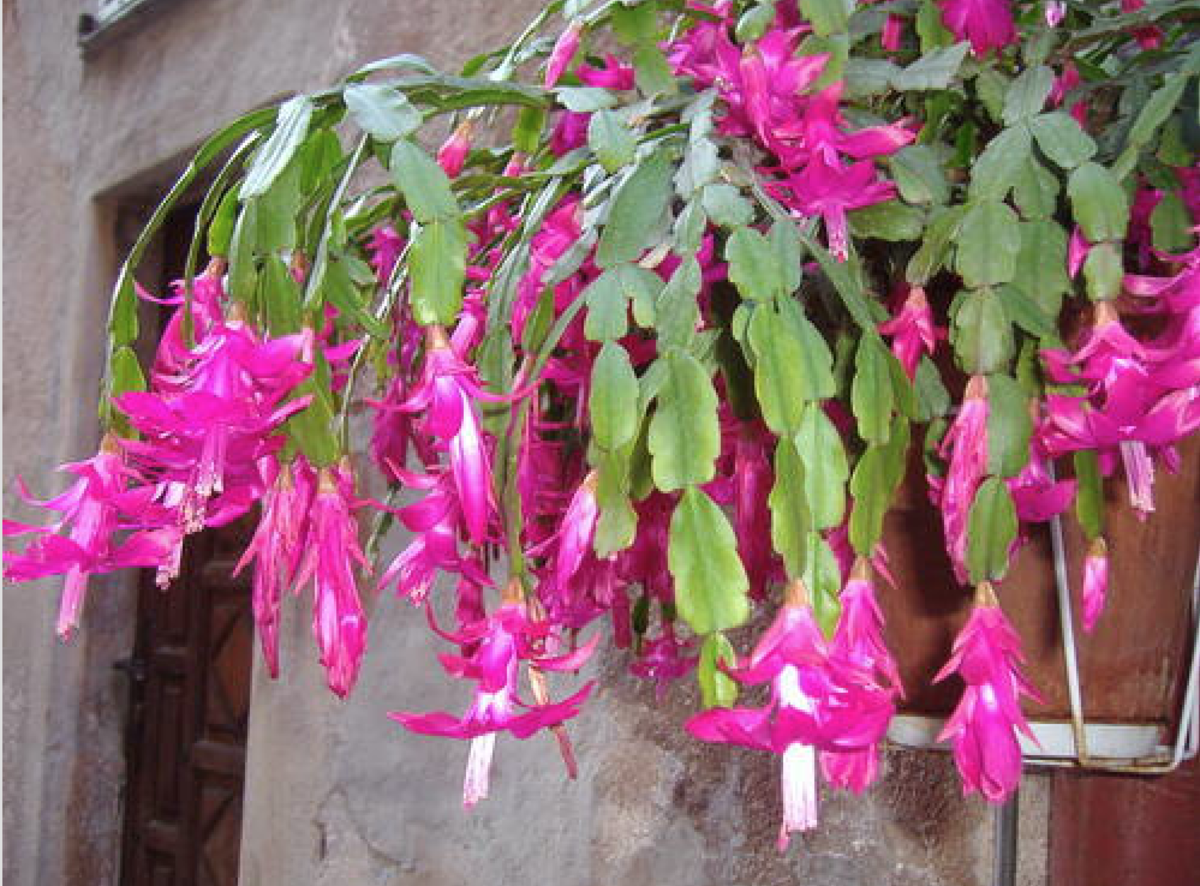 Holiday cactus in a hanging basket. This plant is great for an indoor or outdoor hanging basket. Plants must be brought indoors when the outdoor temperature hits 50 degrees