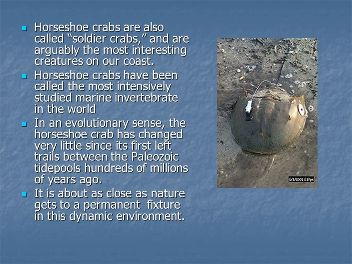 Notes of a Horseshoe Crab