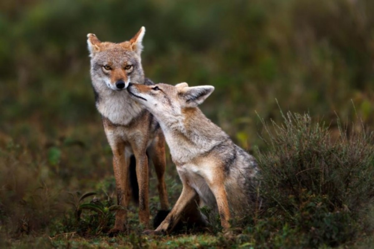 African Golden Jackal is actually a Wolf