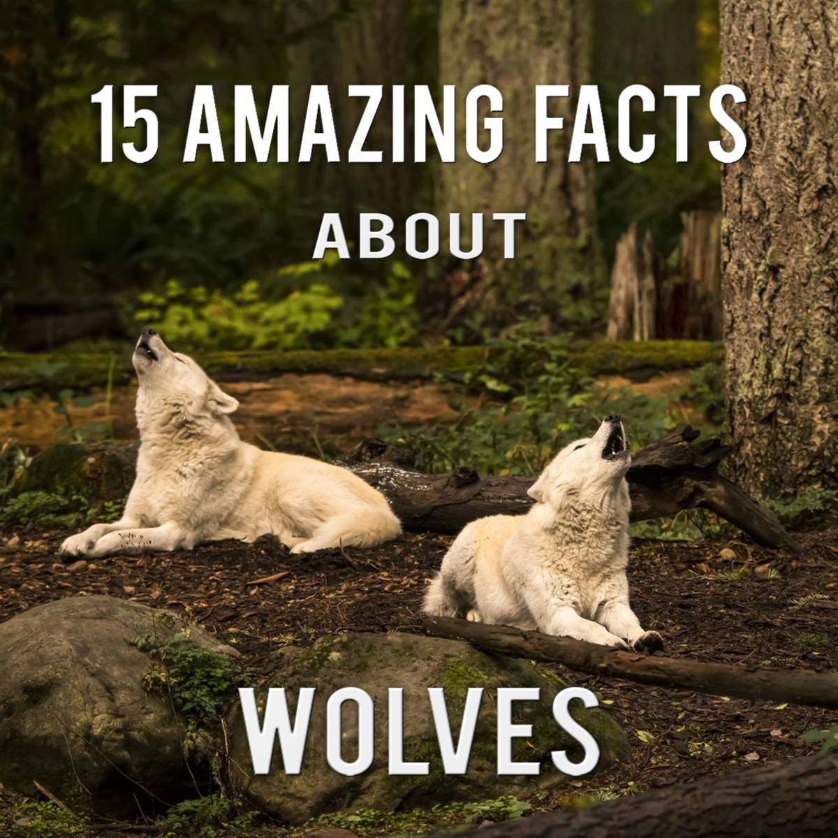 Amazing Facts about Wolves