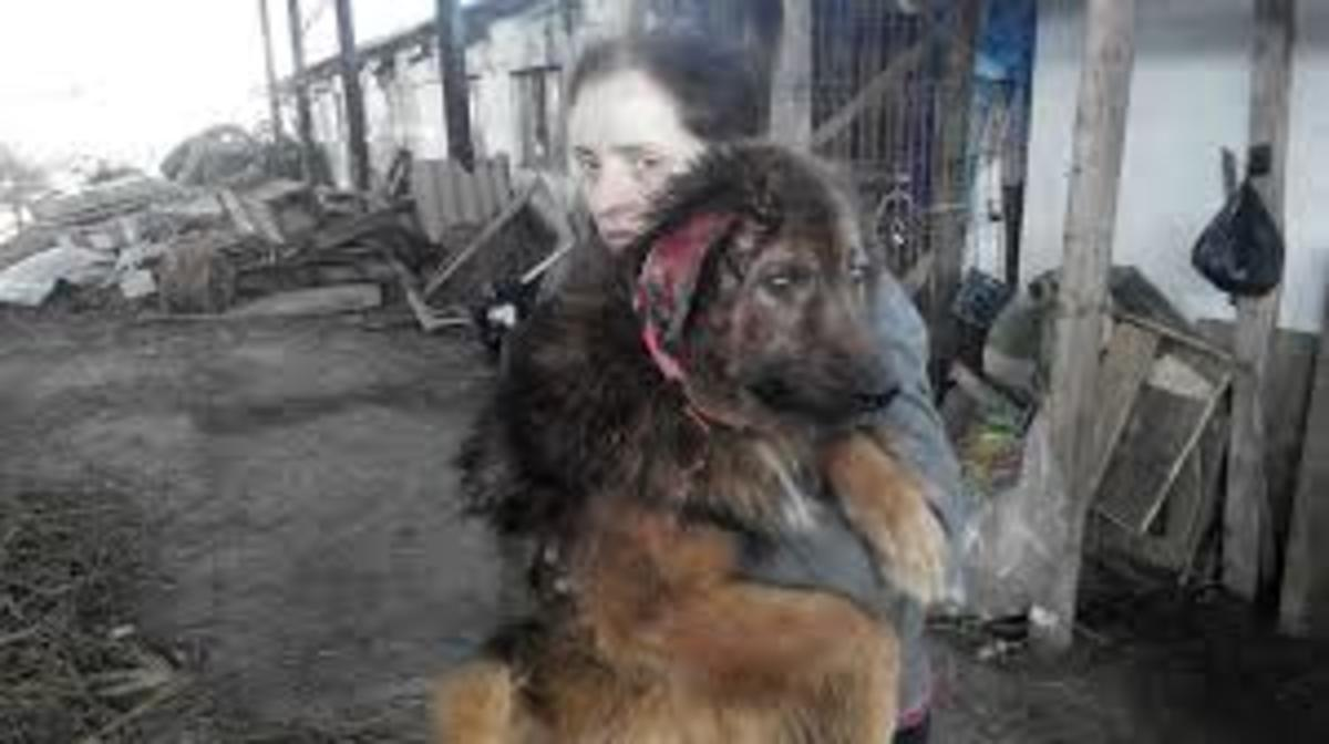 Rescued German Shepard in Romania.