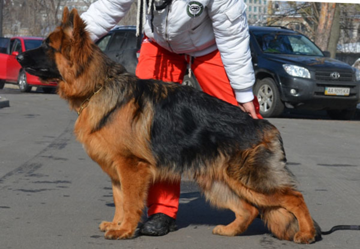 10-countries-that-german-shepards-are-banned-or-restricted-in
