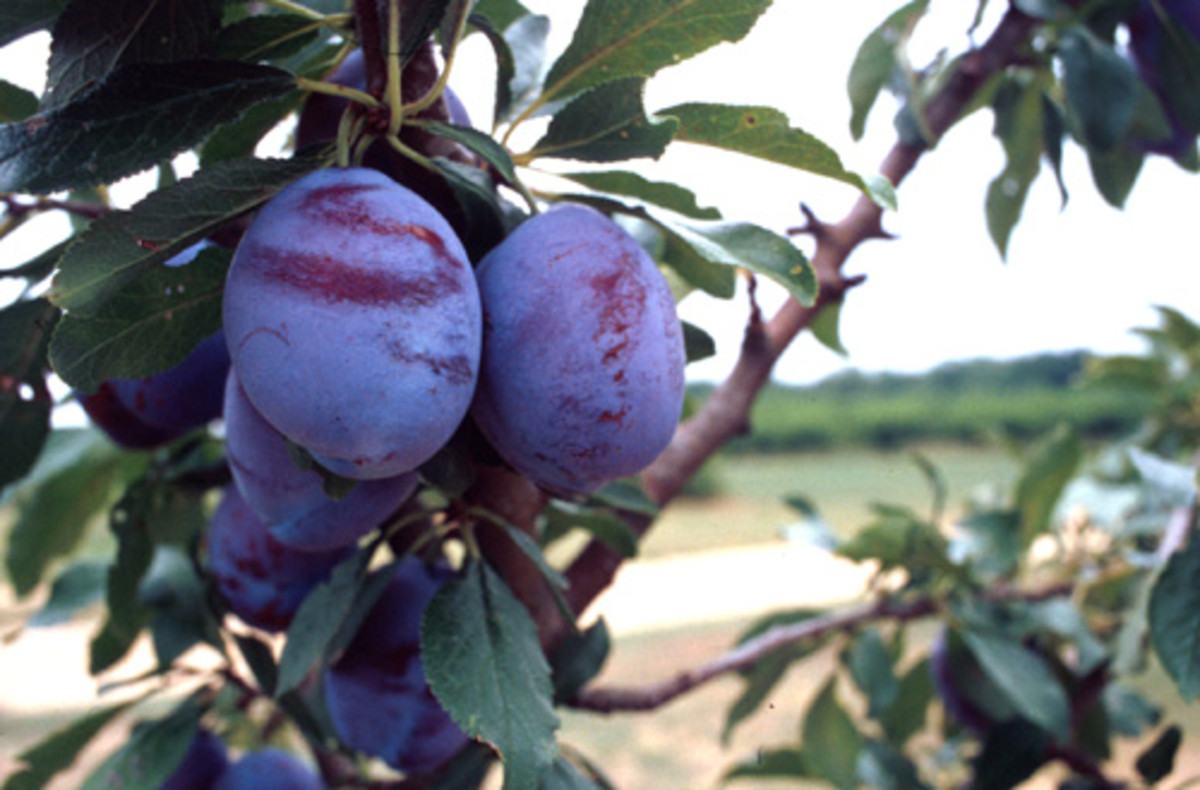 Photos= Morguefile SantVidor plum