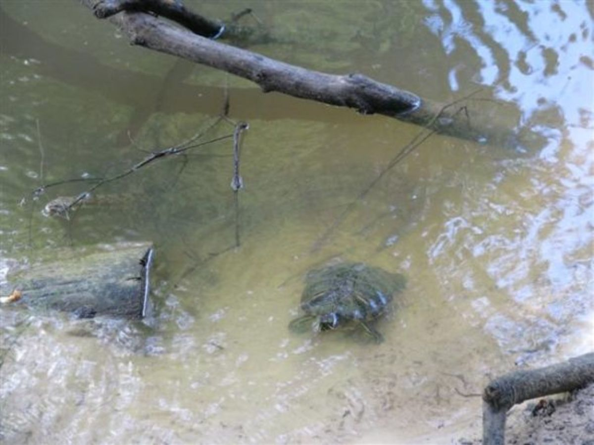 Red-eared Slider turtle and Diamond-back water snake coexist in the river.