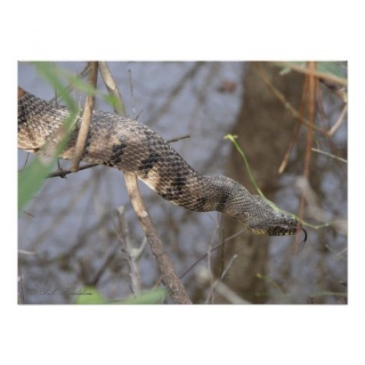 Diamond back watersnake testing the air with its tongue in early spring by naturegirl7 on Zazzle.