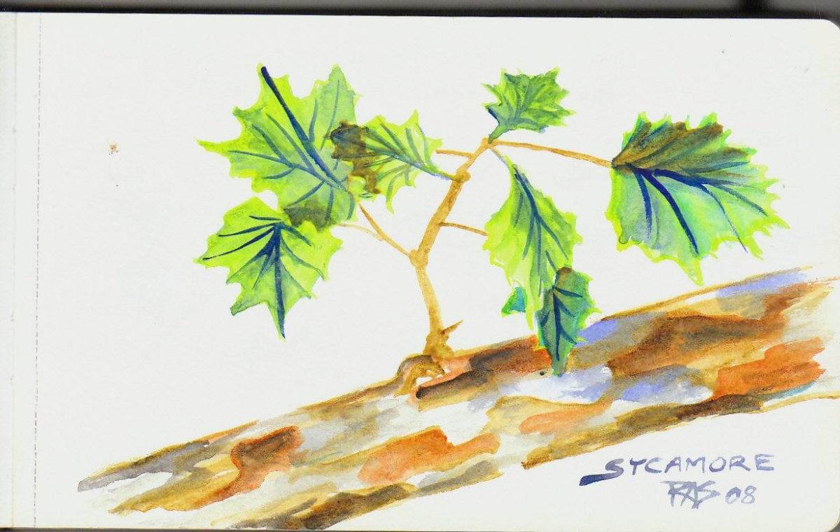Loose, expressive, not absolute botanical perfection but pretty decent sycamore branch, Robert A. Sloan