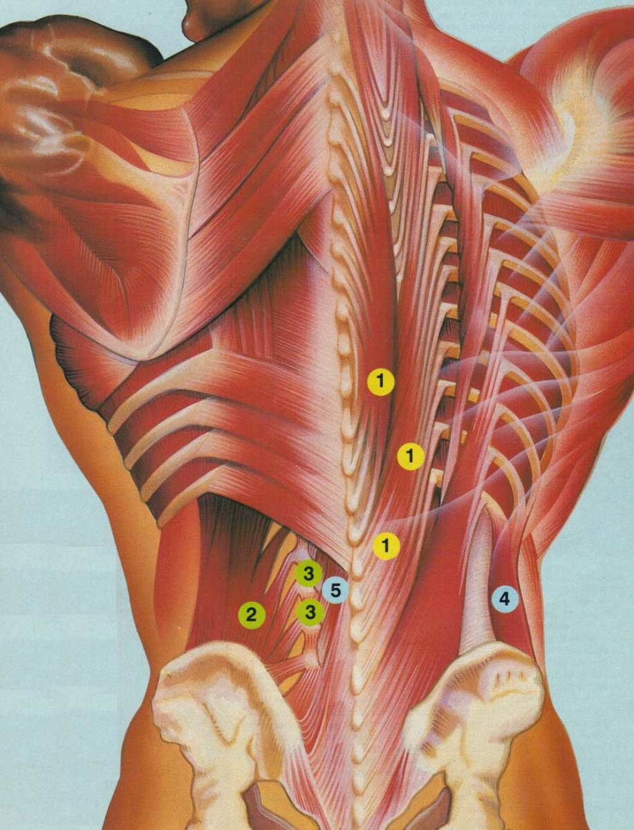 Extensors: 1) Erector Spinae Group; Lateral Flexors: 2) Quadratus Lumborum, 3) Intertransversarii; Rotators: 4) External Obliques, 5) Multifidus