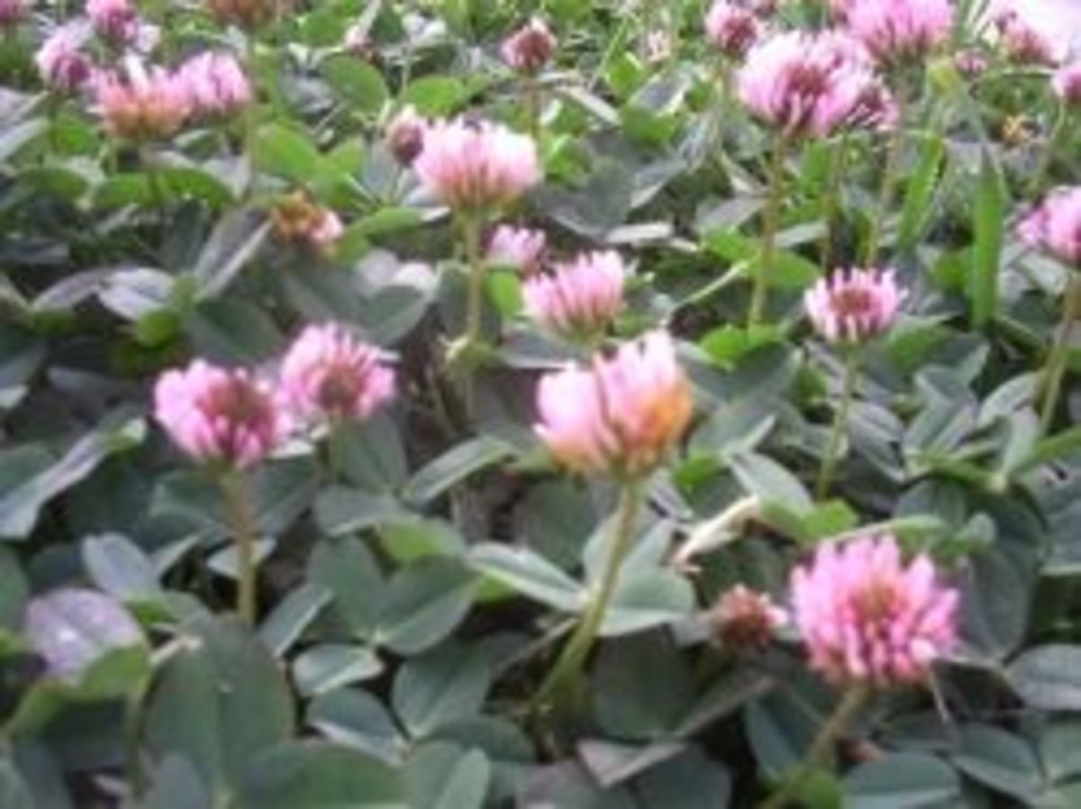 Red clover photographed in a yard in Lynwood