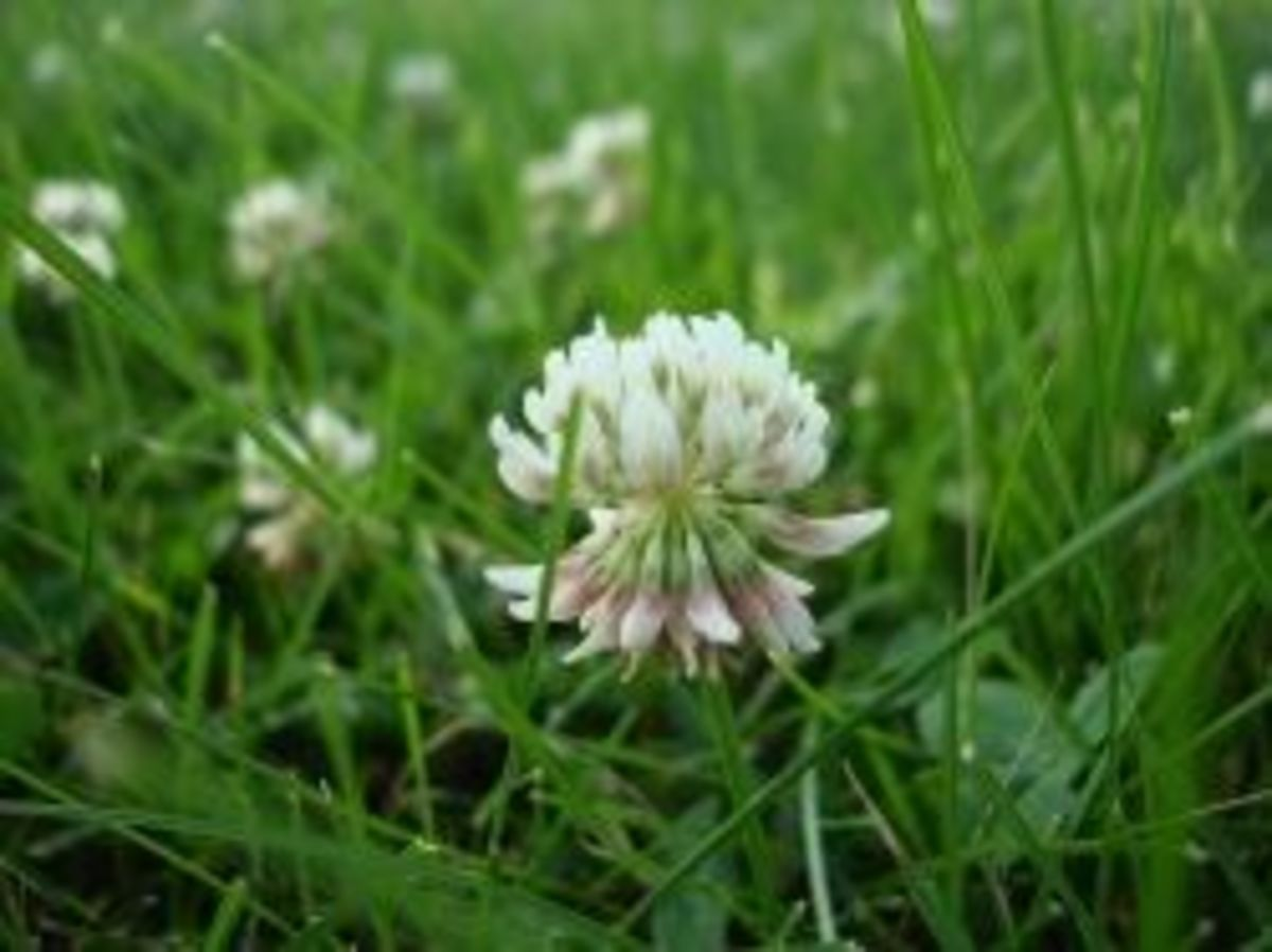A white clover flower, starting to get that little pinkish tinge.