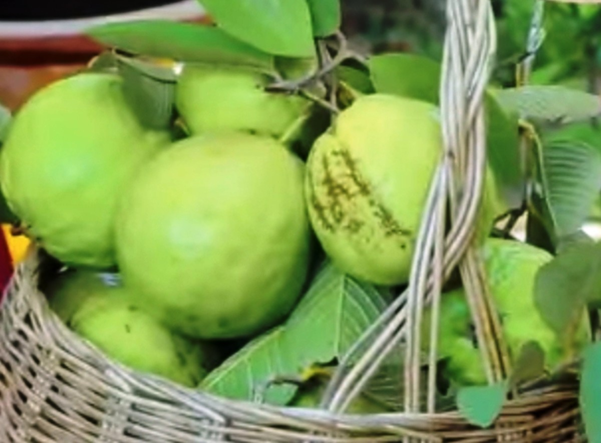 Guava:  Top Eight Health Benefits, Medicinal and Nutritional Properties