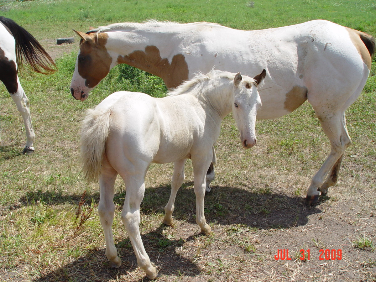 My 2009 paint filly by the black and white tobiano stallion, Ris Key Business.  Her dam (in the background) is a dun tovero.  The filly is so white that it's hard to tell if she is bay or dun, but the spot on her side appears to be dun-colored.