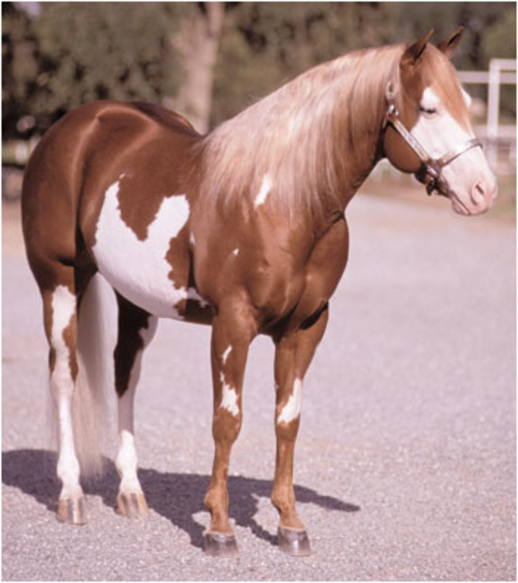Like a Diamond is an overo.  He may carry frame overo (LWO) but appears to have the splash variation.  This could be determined by a genetic test for LWO and also by looking at the pattern on his offspring.
