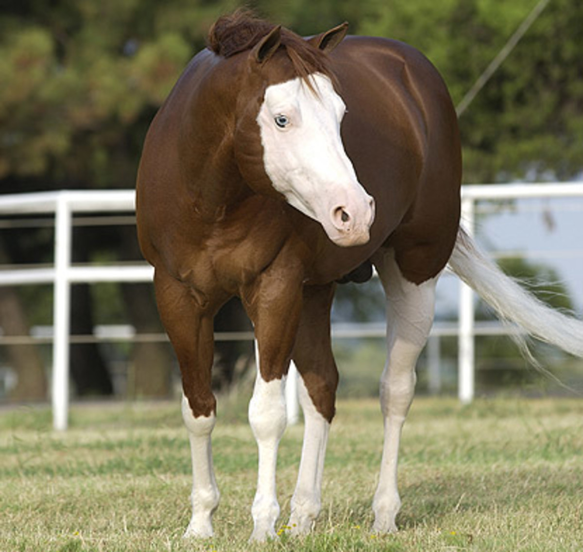 Colonels Smoking Gun is a splash overo who is actually a purebred American Quarter Horse.  He is a classic example of the splash gene with a bald face, blue eyes, high white stockings and a large belly spot.