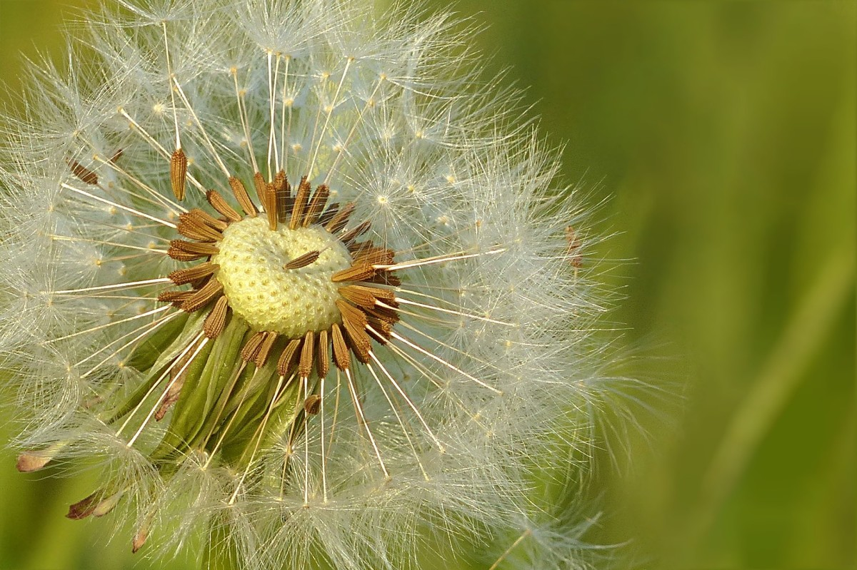 dandelion-versatile-weed