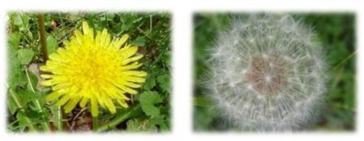 Above left, familiar yellow flower head.  Above right, going to seed.