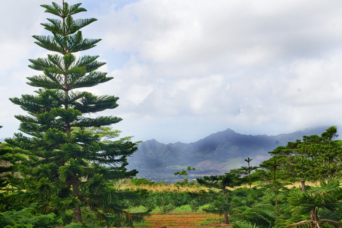 Waimanalo, Oahu Christmas Tree Farm
