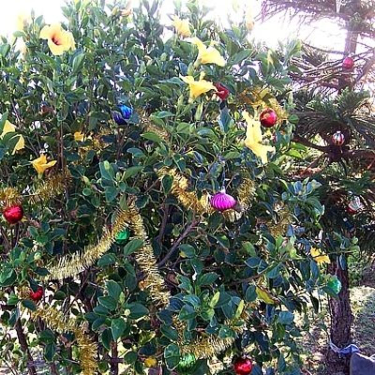 It's time to decorate the hibiscus bush
