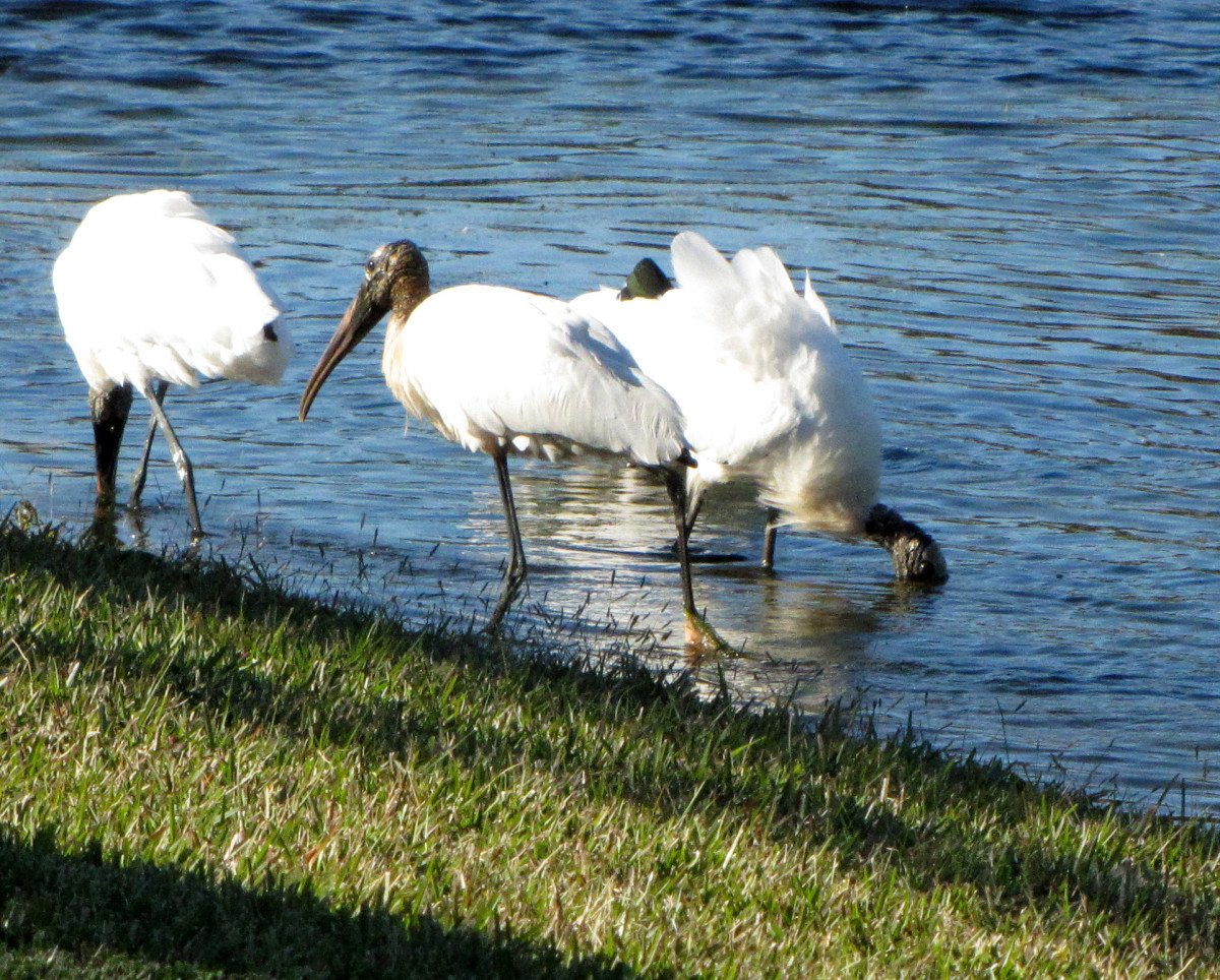 It's not uncommon to see wood storks hanging out together.