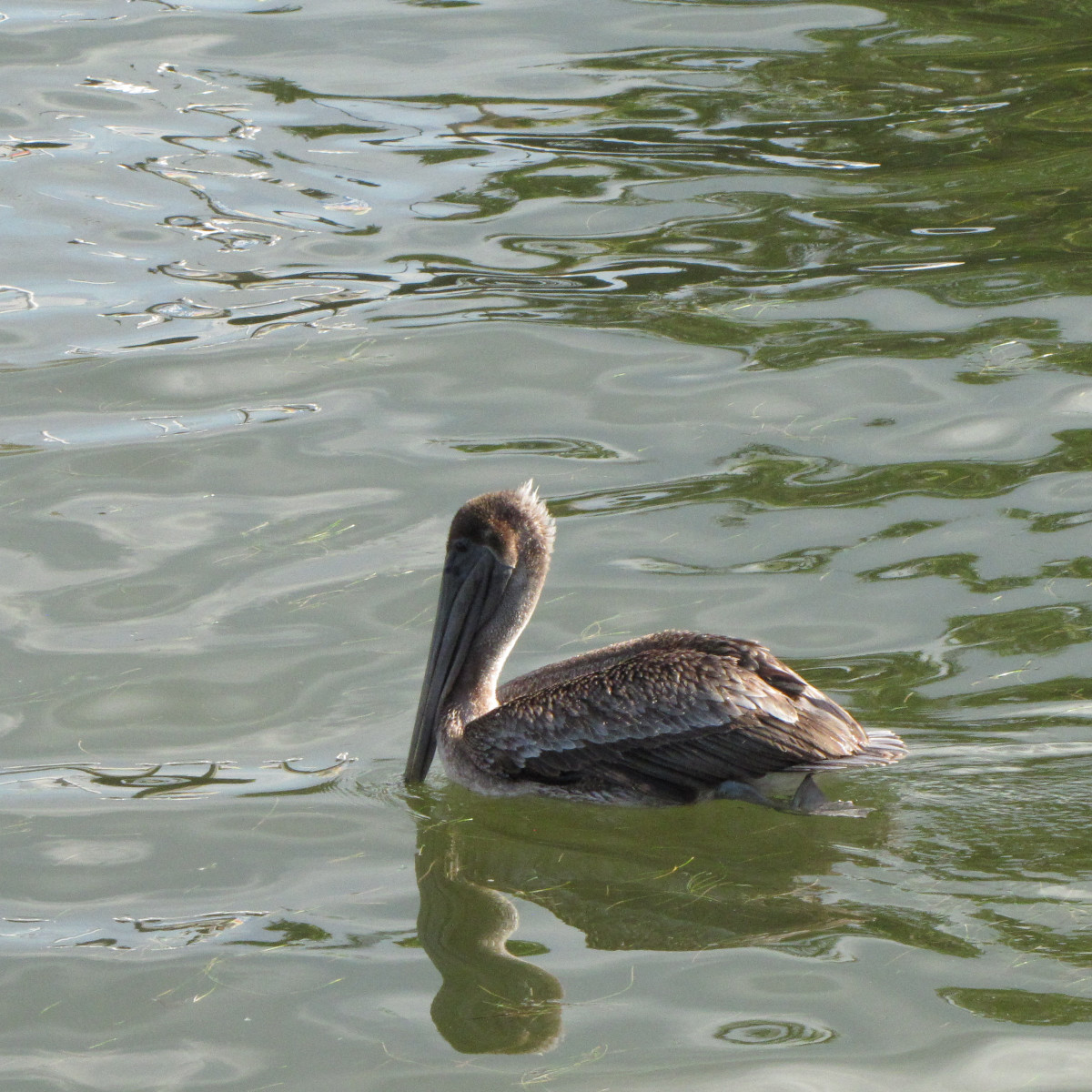 Brown pelican. The large pouch isn't always visible when the beak is held like this.
