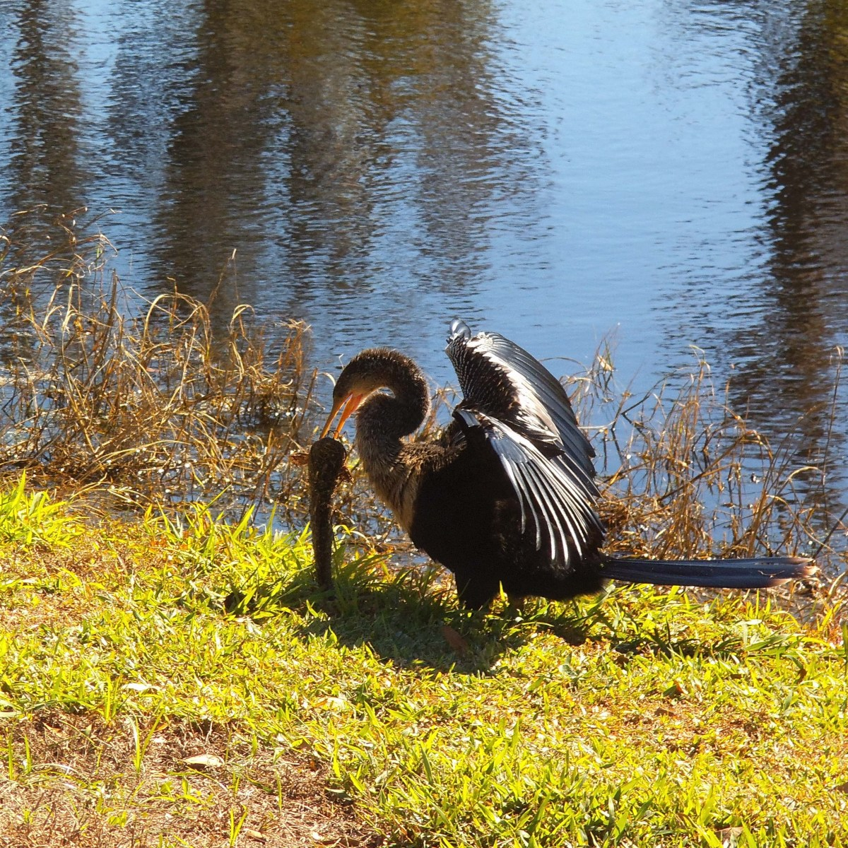 This anhinga just caught a good-sized catfish.