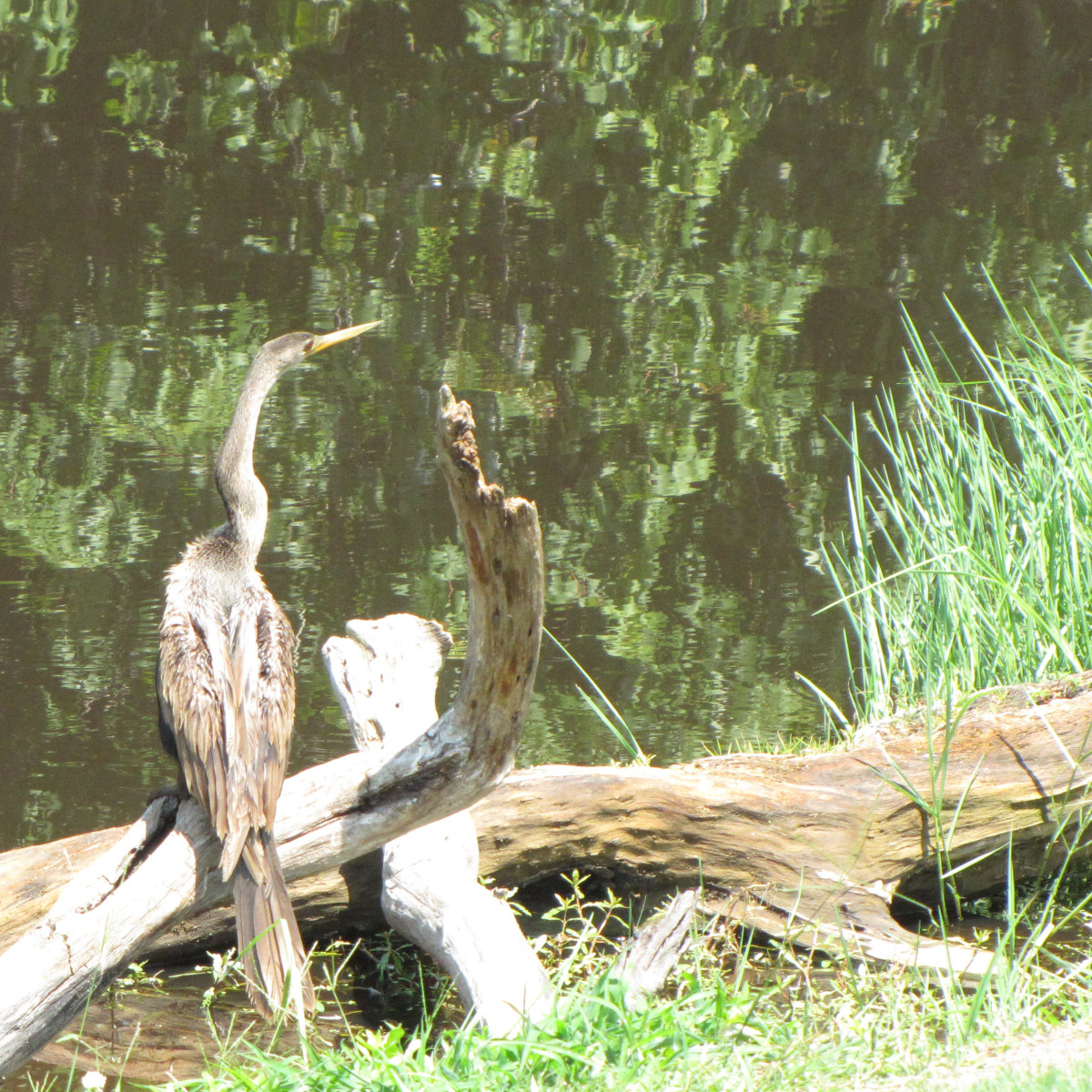 Sometimes the anhingas are more brown and not as black.