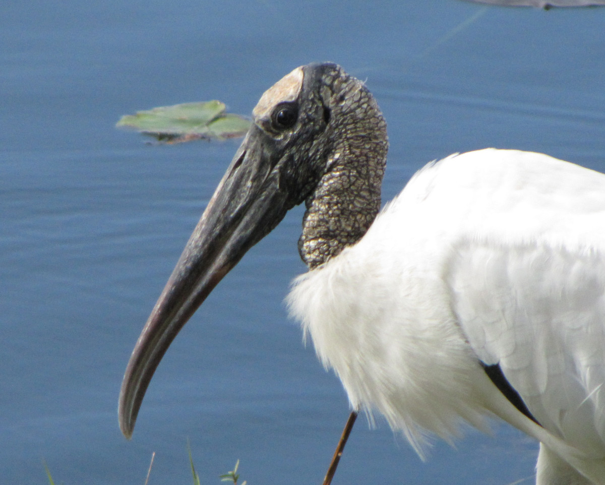 Wood stork - large white bird with black bare head & heavy beak. Black on wing tips when flying. Flies with head extended.