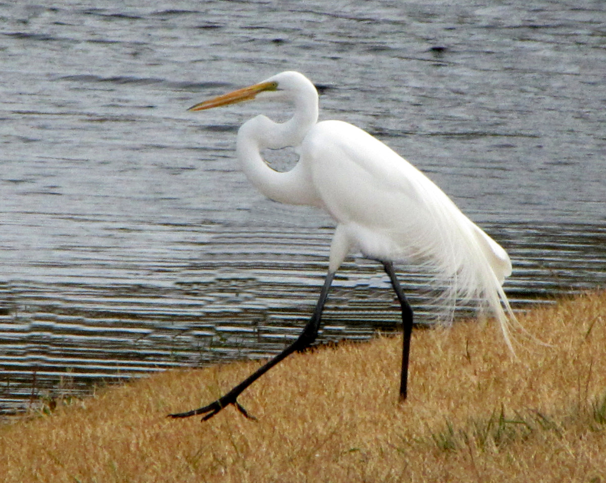 Great Egret - Look for an all white bird with black legs and a yellow bill. It flies with the neck drawn up.
