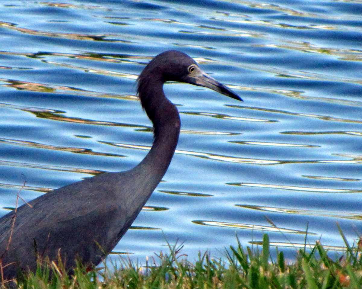Little Blue Heron (photo by Virginia Allain)